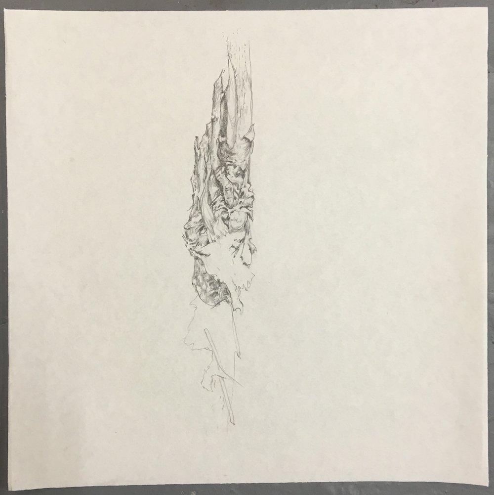 Ailanthus Root 1.jpg