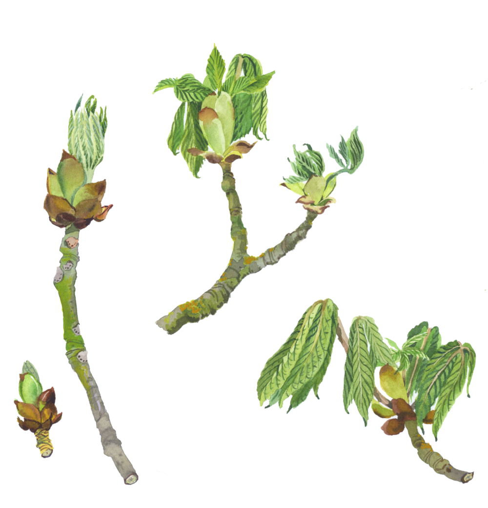 horse chestnut a.png