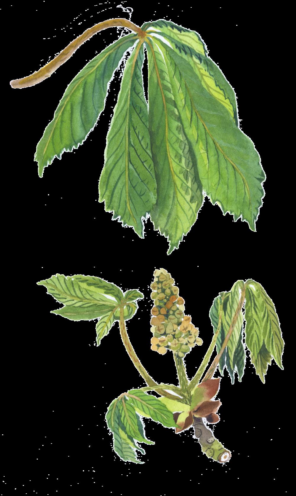 horse chestnut2 .png