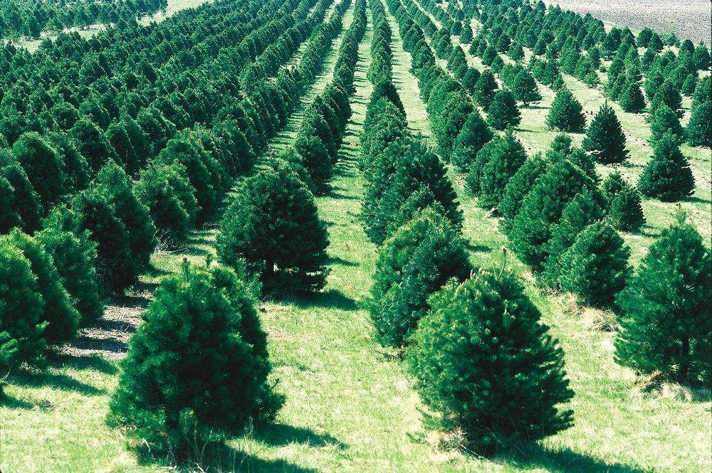 Christmas_tree_farm_IA.JPG
