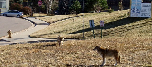 coyotes_t640.jpg