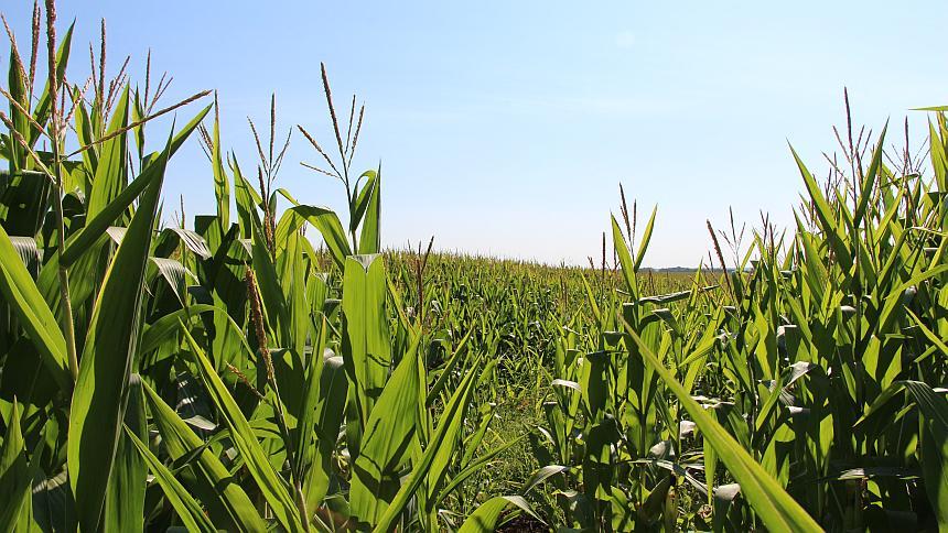 Corn-SE-Minn-Summer-2015.jpg