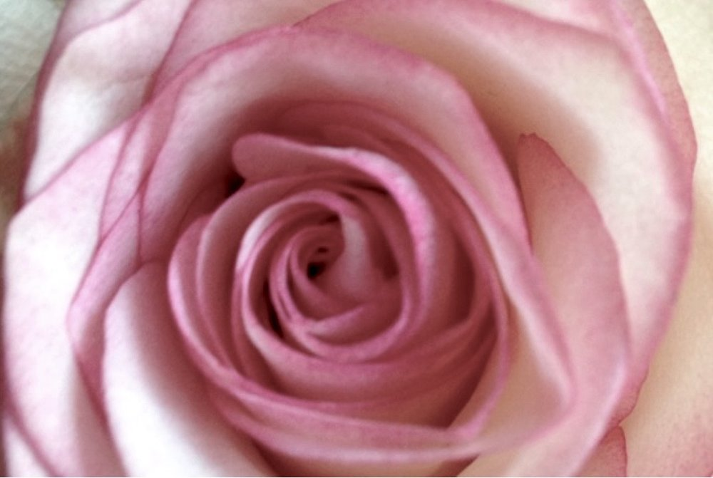 Image of Rose.jpg