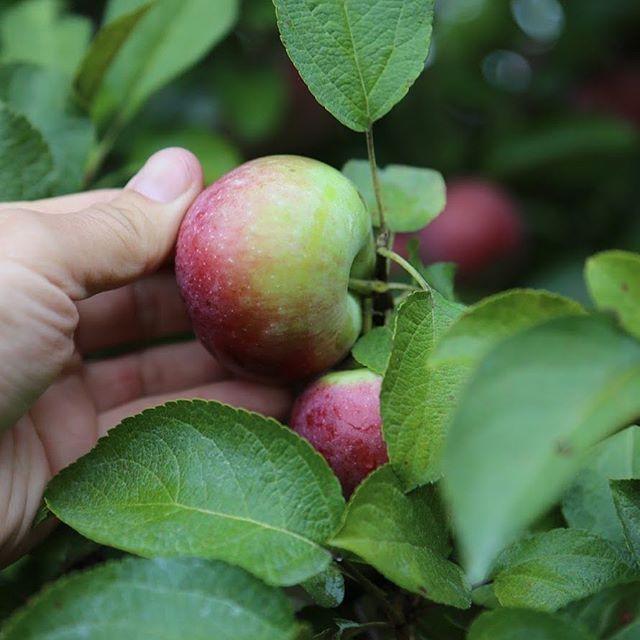 Le saviez-vous ? Tous nos pommes sont biologiques et viennent de la magnifique ferme du Haut-Vallon à Frelighsburg. Des gens incroyables à deux pas d'ici ! . 📷 @patricedidier