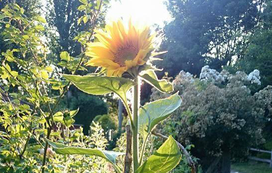 awamugrowoff-sunflower.jpg