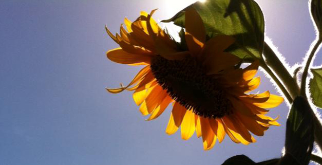 croppped-sunflower.jpg