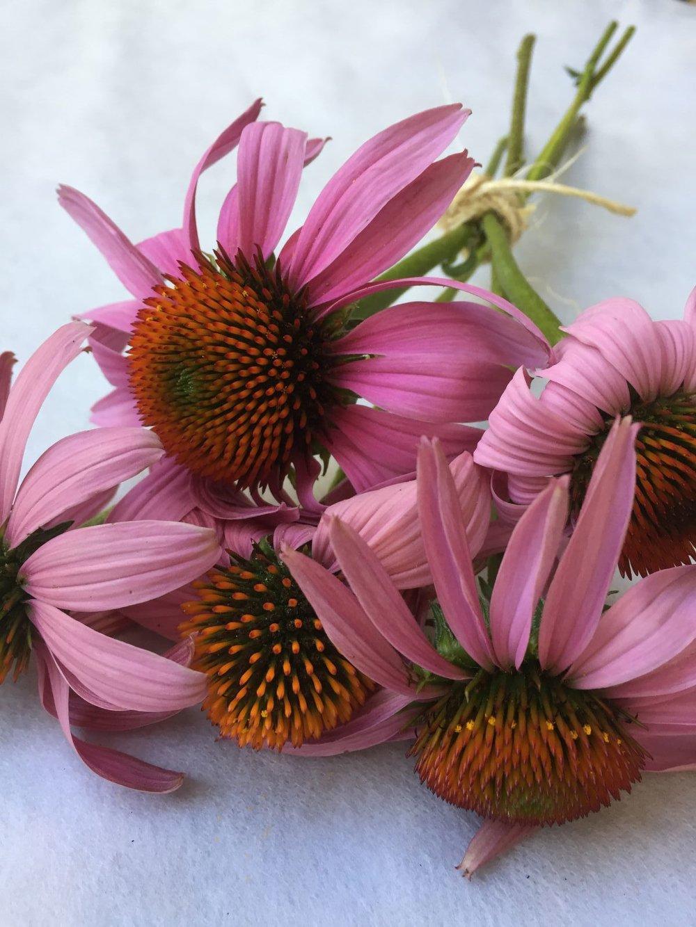 Echinacea purpúrea