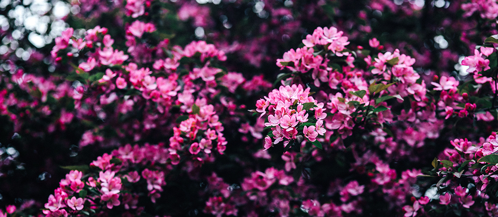 kaboompics_Lovely-pink-flowers-blooming-from-the-tree-branches.png