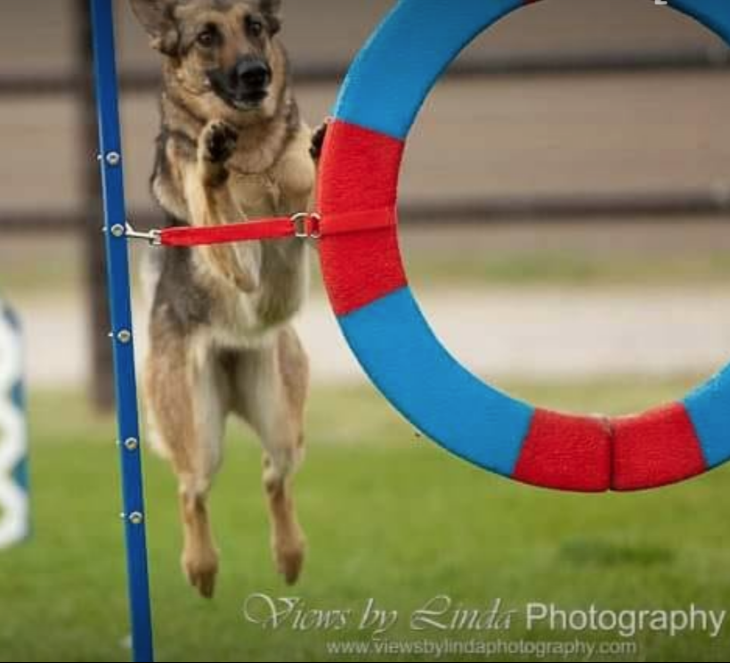 This dog jumped between the tire frame and the edge of the tire. The red pieces would appear like floating shadows. It looks like he is aiming for the red piece between the two blue pieces.  He trains on a black tire and never misread it according to his owner/handler.