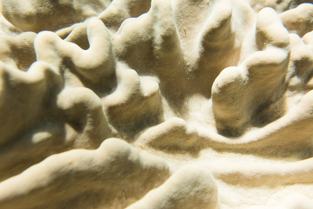 Cream Coral Macro.jpg