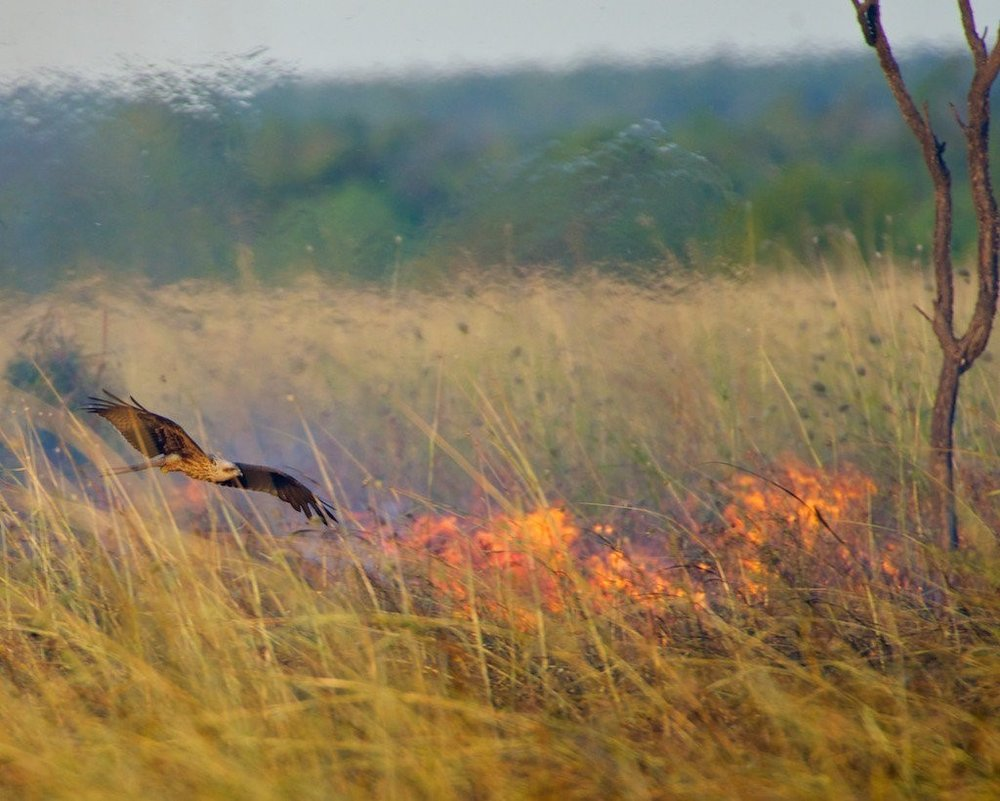 ARE BIRDS ABLE TO USE FIRE?