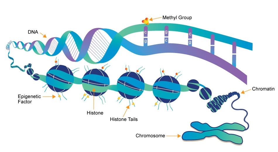 The structure of a Chromatin