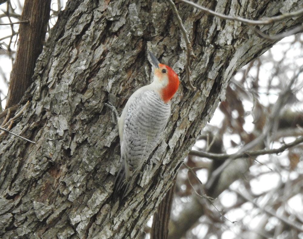 Red-Bellied Woodpecker (leucistic)