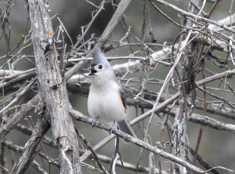 Tufted x Black-crested Titmouse