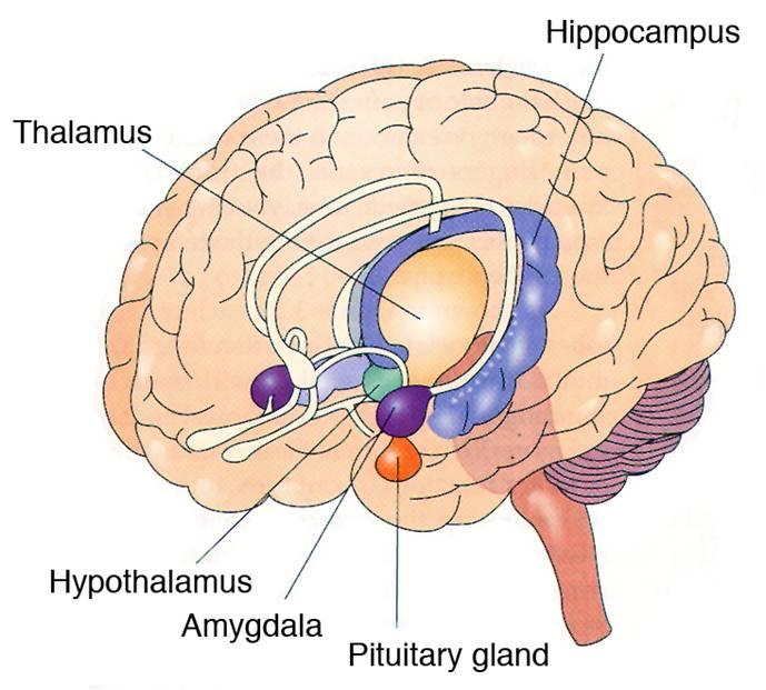 limbic.jpg