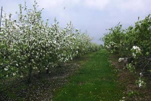 The apple trees blossoming in the spring.