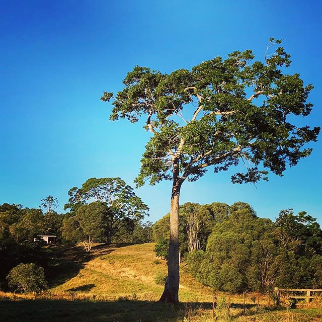 Afternoon tree #afternoonsun #queensland #hinterland #wintersun #winter #australia #gumtree