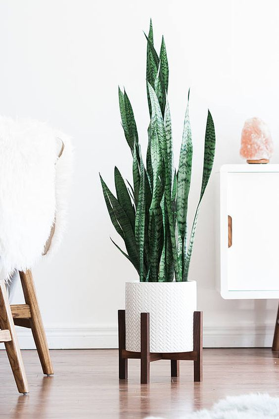 Snake plant is easy to maintain on the long run and prefers dry soil.