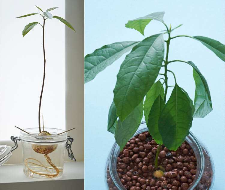 Spectacular growth for my first avocado plant. Photos taken about 6 months apart. Photo: InvincibleHousePlants.com