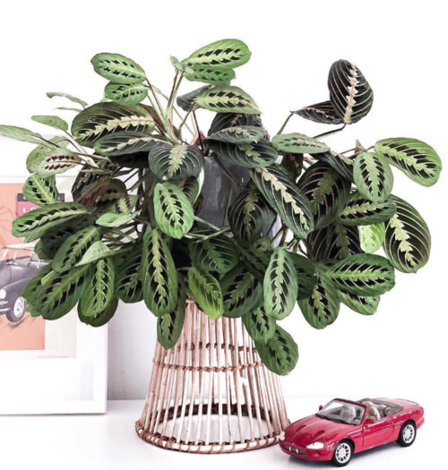 Easy and decorative, this  Maranta  is taken care of by lucky owner Vikram G. ( @theplantbureau  on instagram). Visit his page  here .