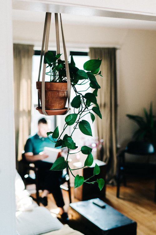 Golden Pothos' flexible vines grow like no other