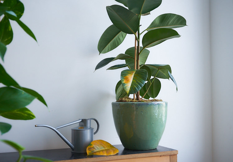 I Overwatered my rubber plant and this is what I learnt. — The Houseplant &  Urban Jungle Blog
