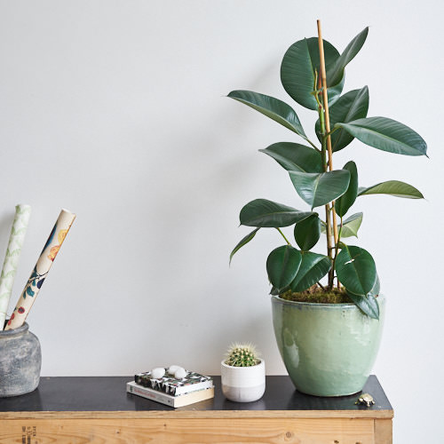 A healthy  Ficus Elastica  (a.k.a 'Rubber Plant') before I went on holidays
