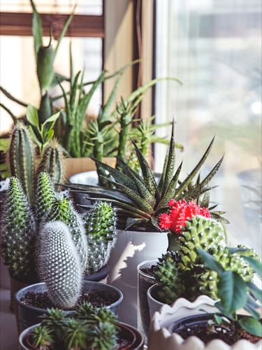 Cacti and succulents' appetite for bright sunlight make them perfect for a windowsill. Photo: Milada Vigerova