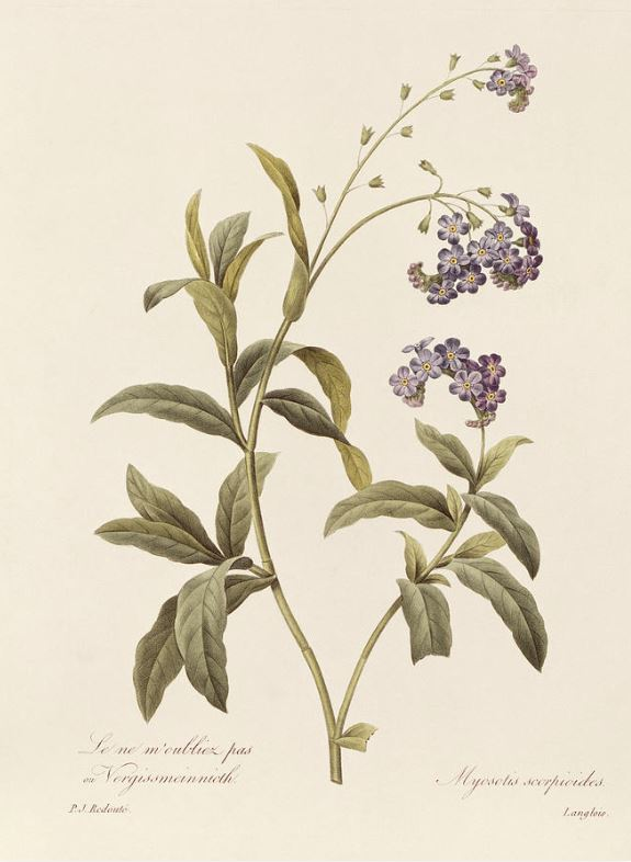 Forget Me Not  is a drawing by Pierre Joseph Redoute (1759-1840). Photography courtesy FineArtAmerica.com