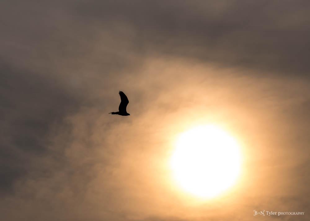 Ospery flying into the sun