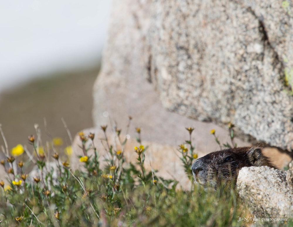 Sneaky Marmot