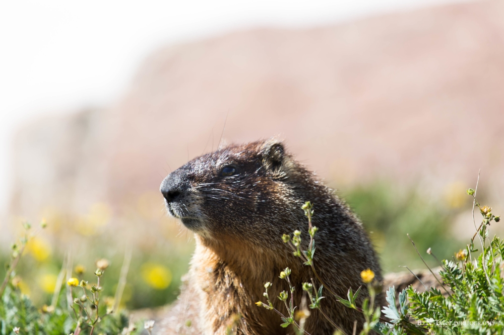 Yellow-bellied marmot portrait