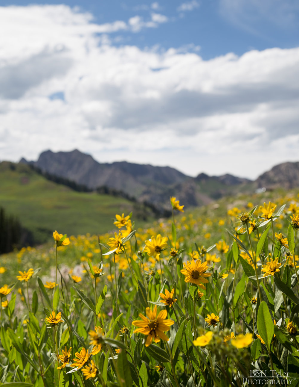 Sunflowers in the Alta mountains
