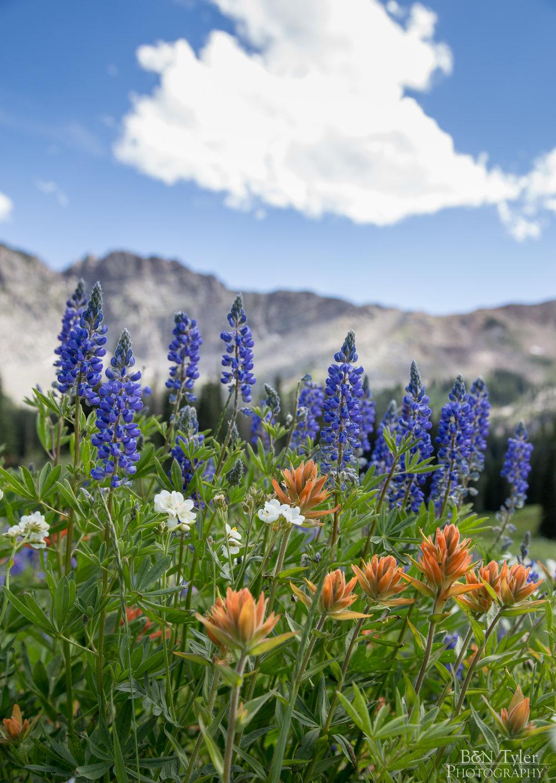 Wild flowers in Albion Basin