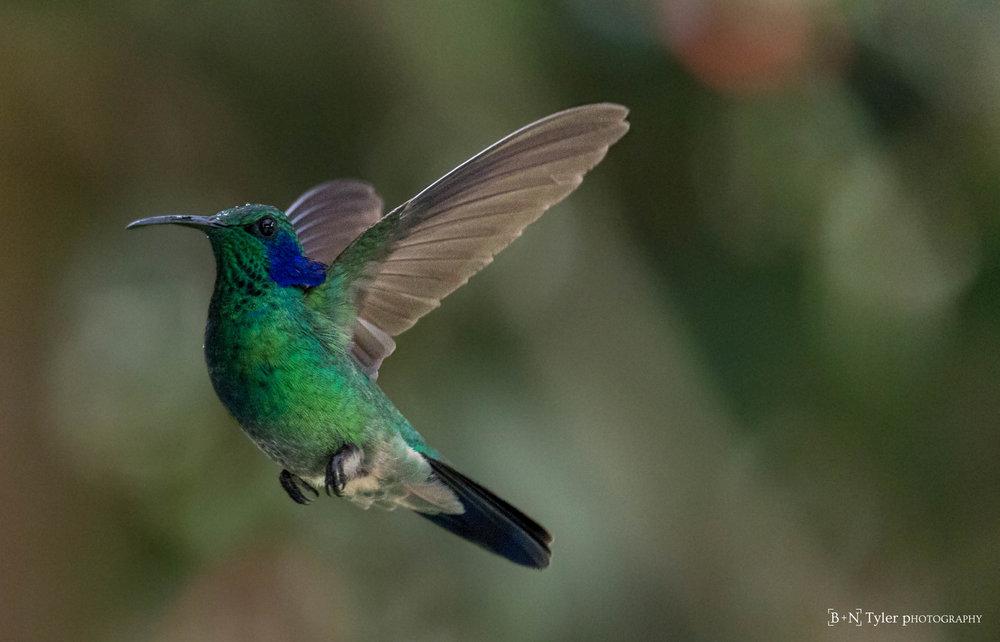 Green Violet-Ear Hummingbird mid flight