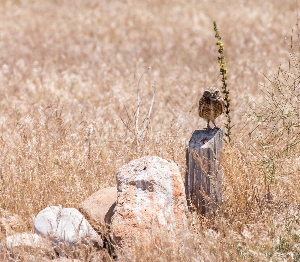 Burrowing_owl-8381.jpg