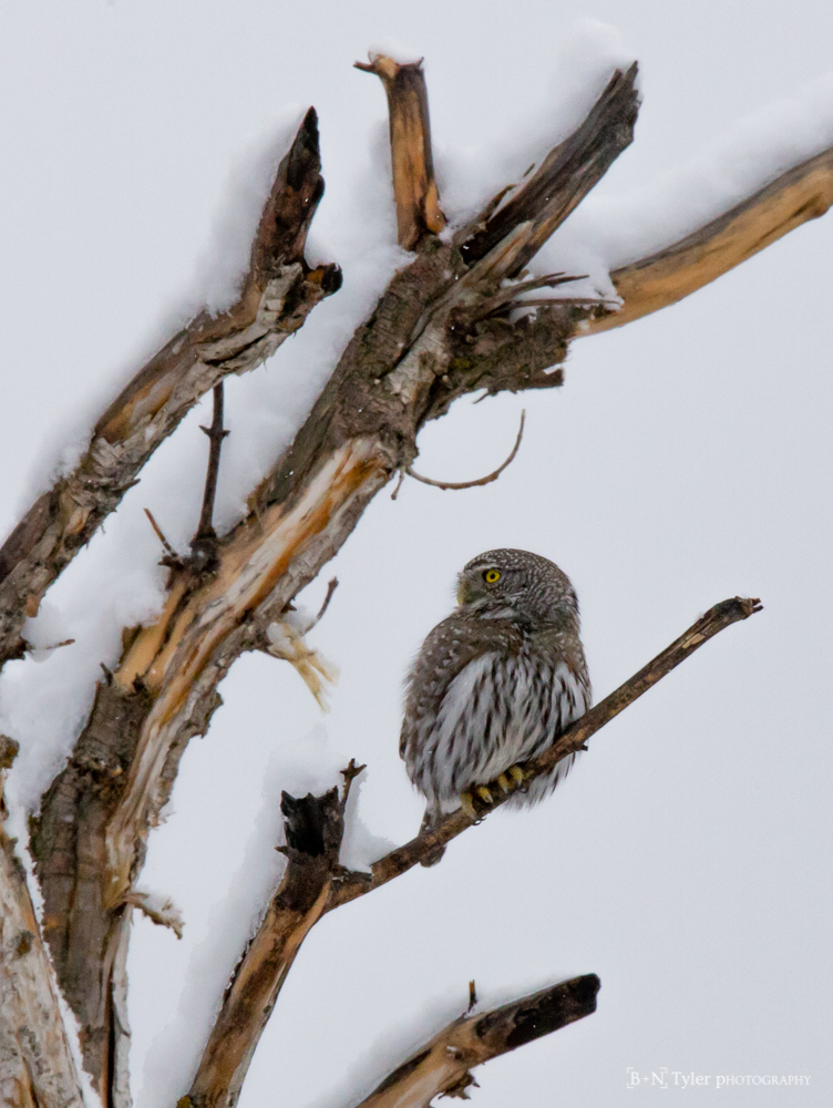 Surveying Northern Pygmy Owl