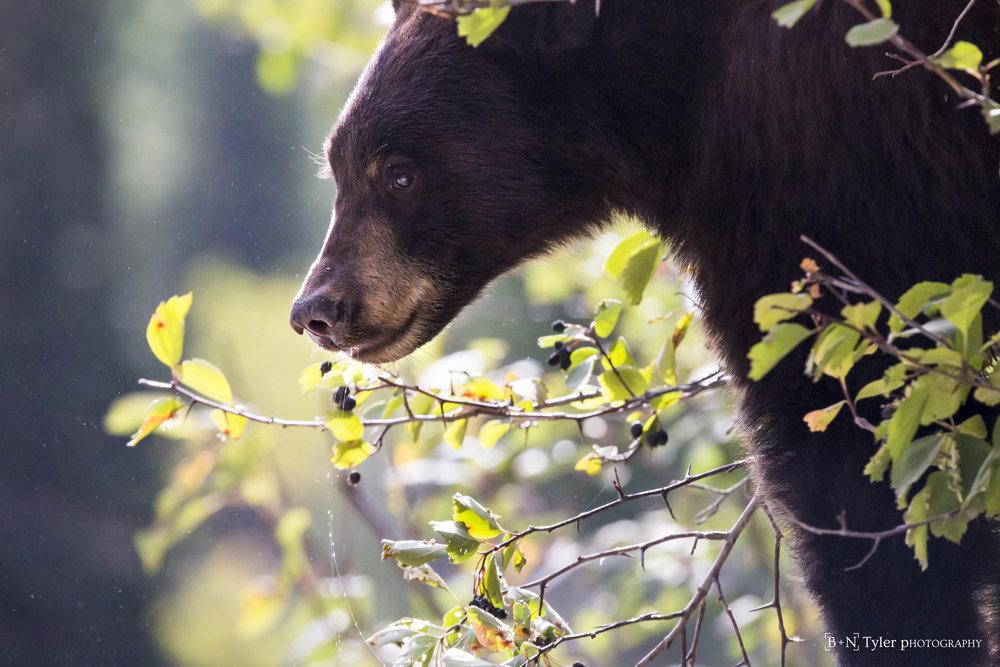 black bear2-2727.jpg