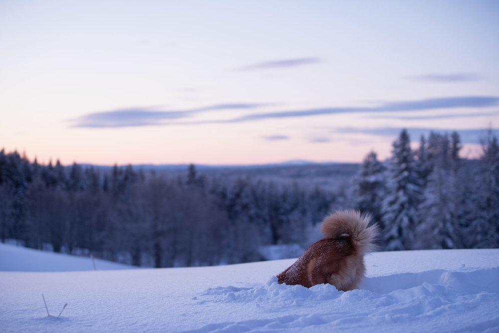 Finskspets i vintrigt Jämtland