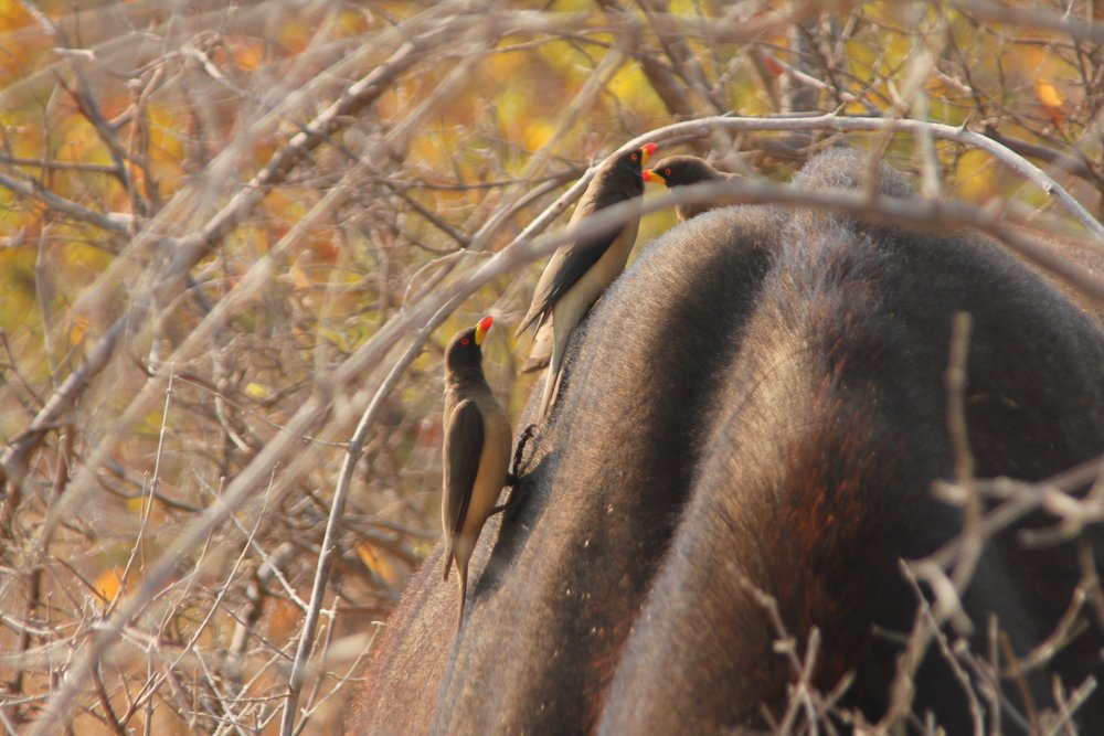 Ox peckers, some of the most informative African bird species. Photo: Kersey Lawrence