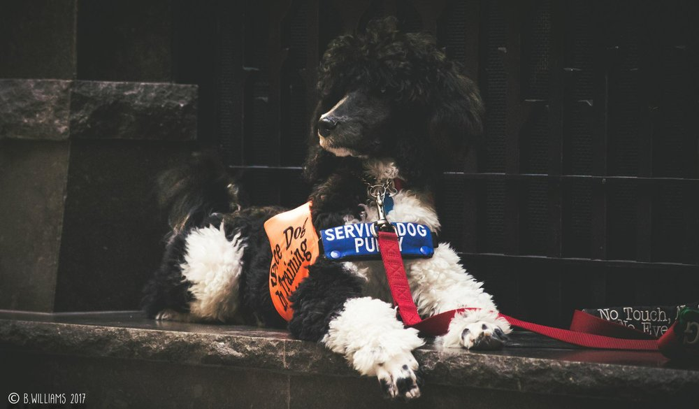 Our Mission - At Smith Haven Service Dogs, the future is always a little furrier. We are dedicated to empowering a new generation of compassionate thinkers - and enabling those who need it most.