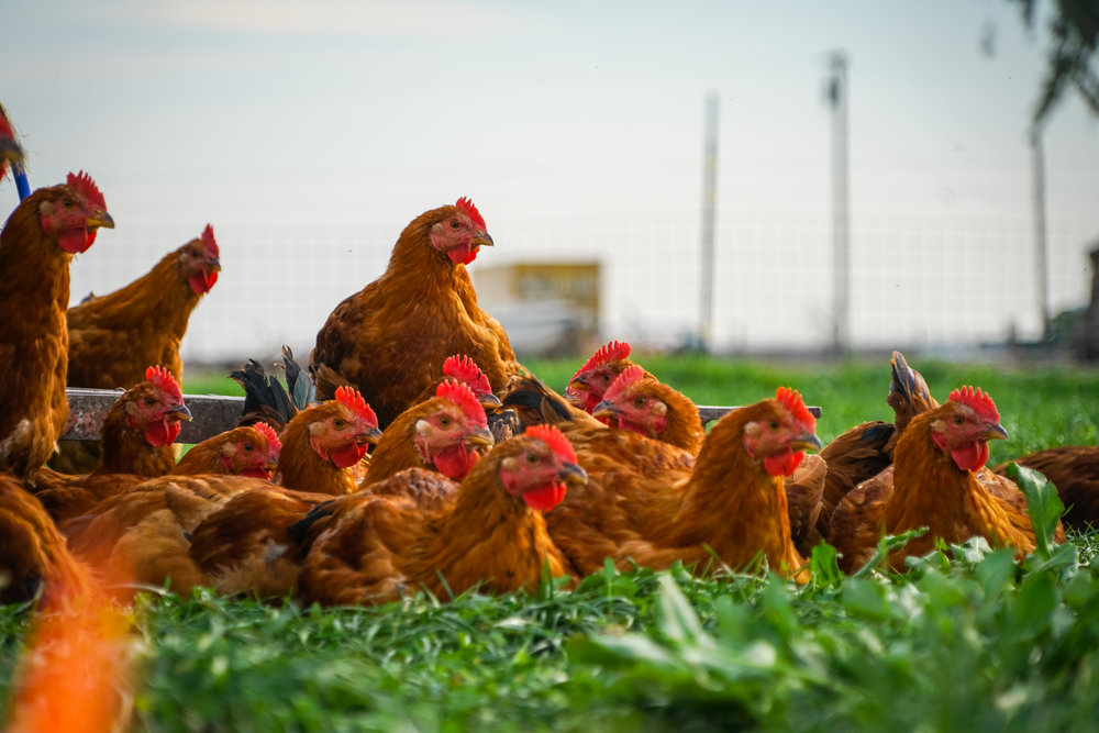 Organic Fed Pasture Raised Chicken - Our Red Ranger chickens are supplemented with organic feed. This breed is more of a heritage breed and converts the pasture more efficiently.