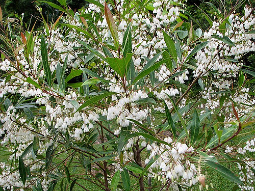 Blueberry ash flower.jpg
