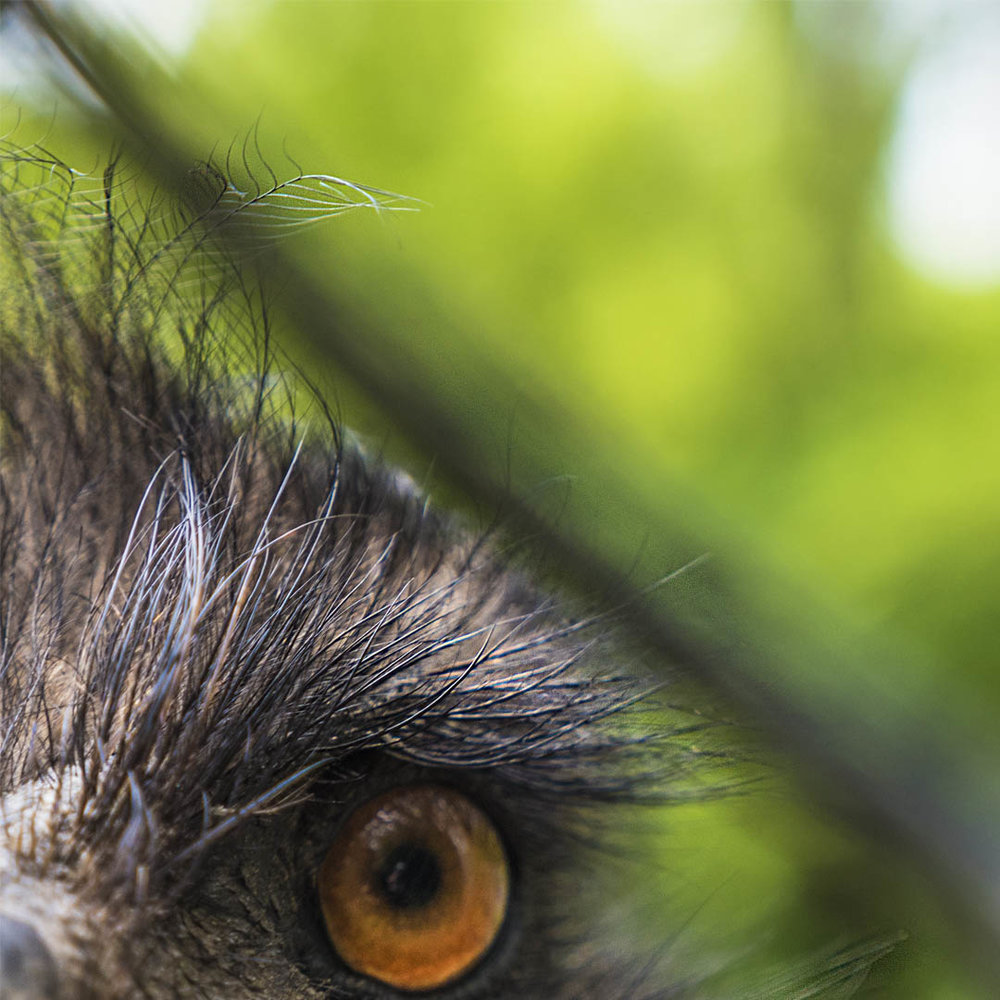 Emu_Eye-2.jpg