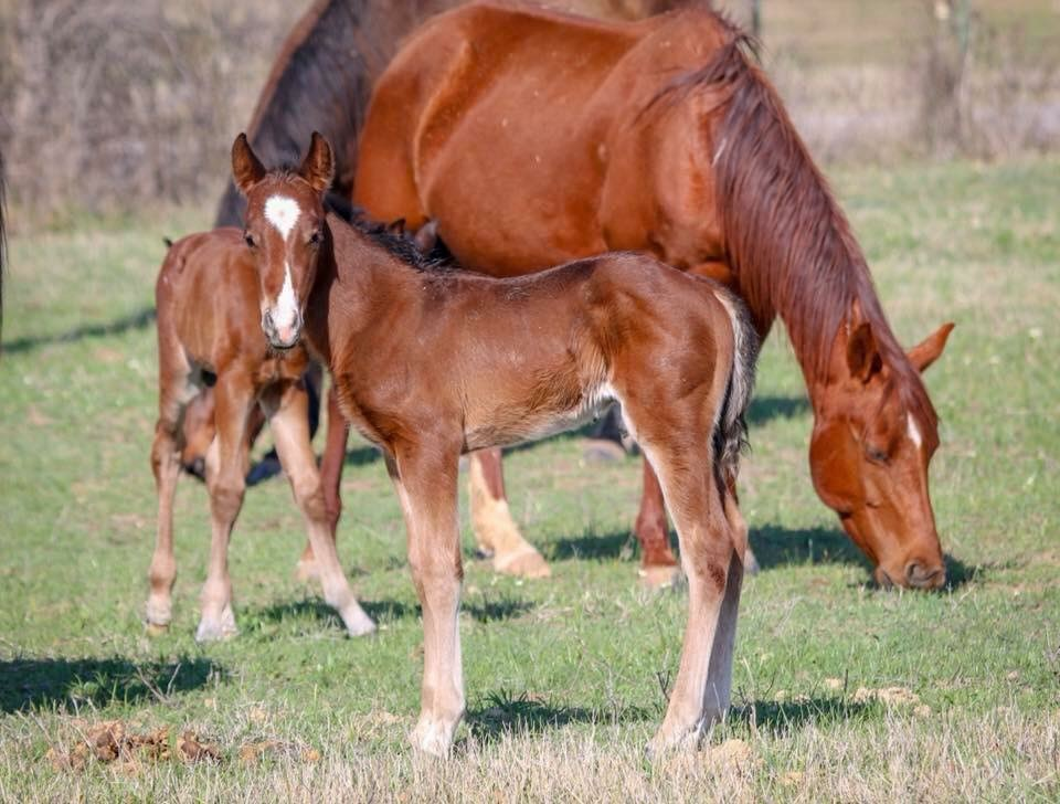 Lil Spoon x Topnotch Twist   Bay colt by Lil Spoon and out of a Doc O Lena Twist daughter.