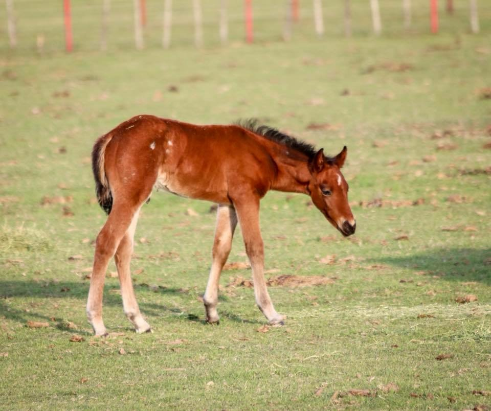 Lil Spoon X That Smart Illusion   Bay roan colt by Lil Spoon and out of a Cats Illusion daughter. 2nd dam is That Smarts, a $1.4 million producer.