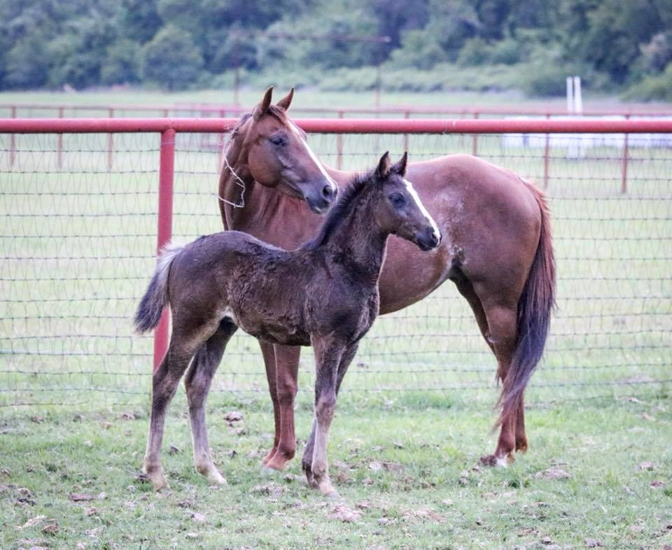 Spaz   Cats Merada x Smooth Little Kitty (Smooth as a Cat x Peppy San Badger daughter)  Really well put together mare, very catty and athletic! She had a stunning black  colt this year by Lil Spoon and has been bred back to Lethal Dual for a 2019 foal.