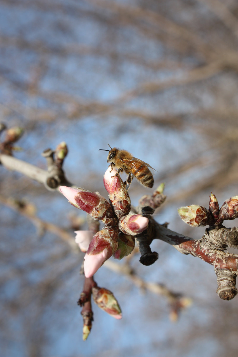 Bee on Almond flower in Central Valley, California, USA