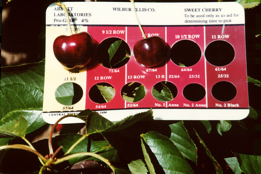 Cherries-Sonata-vs-10-row-Bing-Size-Comparison.jpg