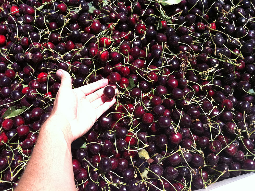 Cherries-Bing-Harvest.JPG
